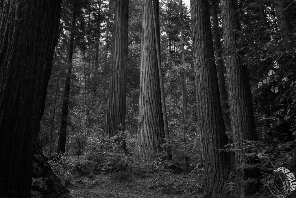 Black and white redwood grove