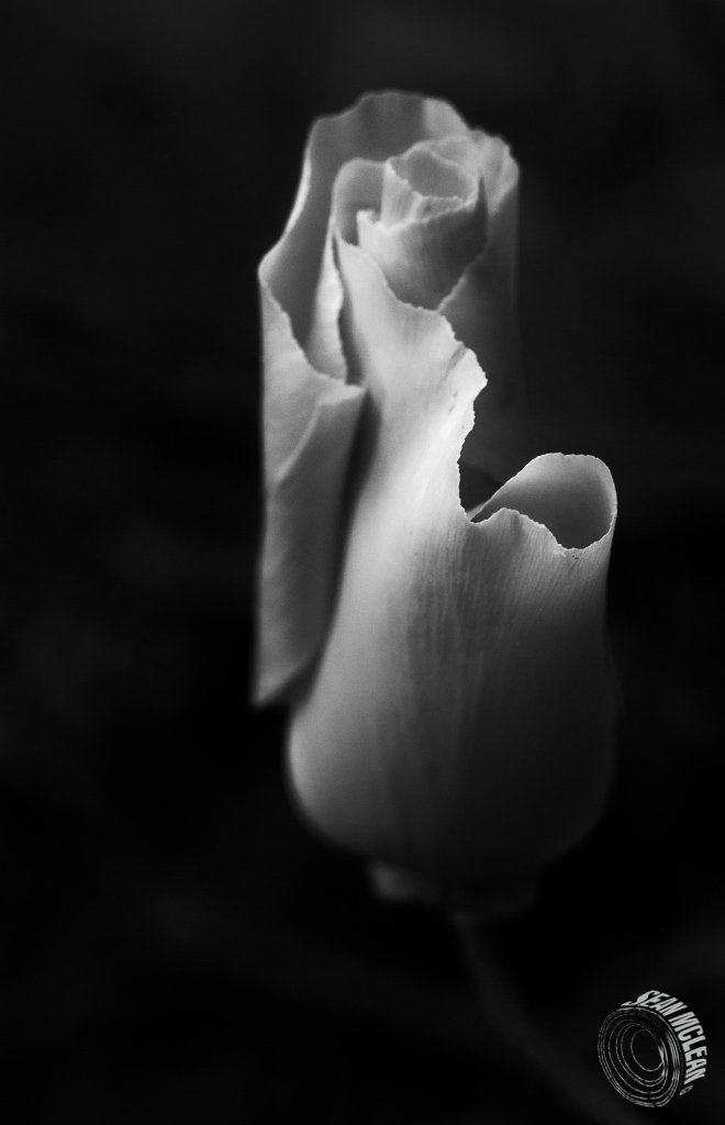 California Poppy in monochrome